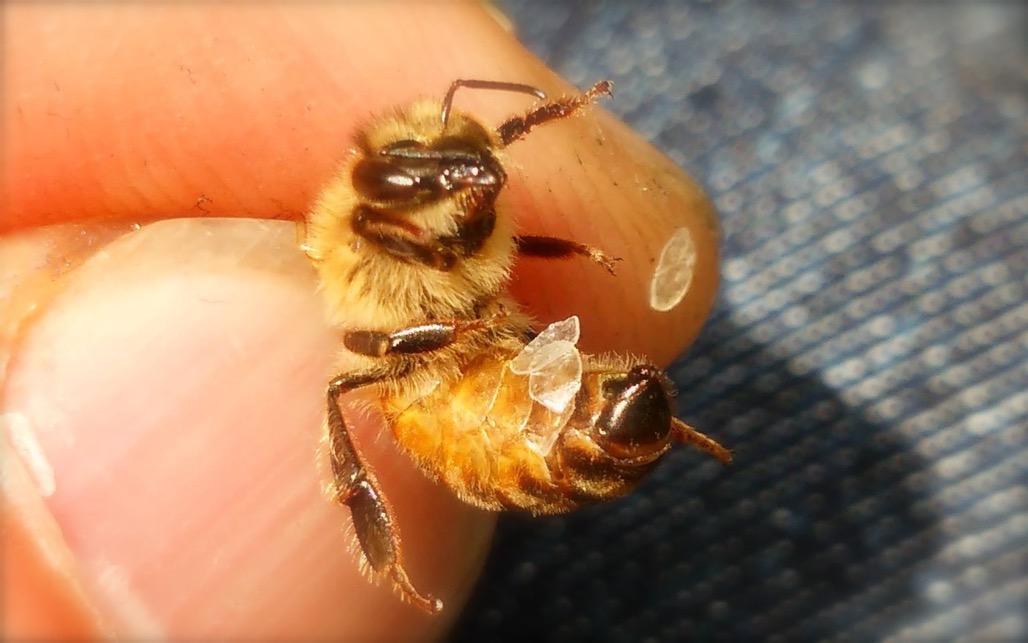 蜜蝋を分泌するミツバチ
